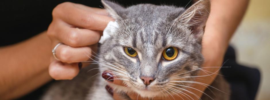como limpiar las orejas al gato
