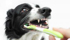 como limpiar los dientes a un perro